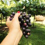 Uva e Vinho